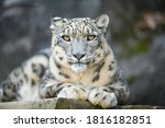 A White Snow Leopard Lies With...
