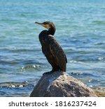 Adult Black Cormorant Sits On A ...