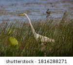 Great Egret In The Tall Grass...