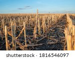 Cut Corn Stubble And Chaff In...