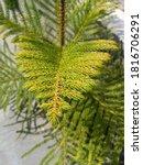 Small photo of Araucaria heterophylla(A. excelsa), Norfolk Island pine (or Norfolk pine), star pine, Polynesian pine, triangle tree or living Christmas tree.