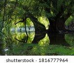Trees In Camecuaro Lake...