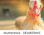 A Domestic Common Chicken Look...