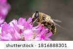 A Hoverfly  Also Known As A...