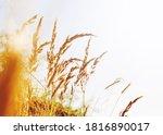 Pampas Grass Outdoor In Light...