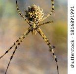 Great Tiger Spider Argiope...
