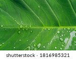 beautiful green taro leaves... | Shutterstock . vector #1816985321