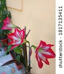 Red Blossom Lily In A Pot Near...