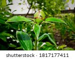 Green Peony Bud And Ants On It