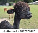 Black Cria Alpaca Taken In Eas...
