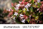 Small photo of Abelia grandiflora with pink tinged, white flowers