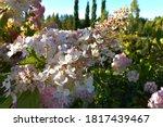 Pink Panicle Hydrangea ...