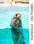 Sea Otter Eat Feed While...