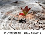 Small photo of A small young tree is growing on a dead cut down tree, A small tree young plant growing up from old trunk, Strong and development concept, Adaptation concept, New life