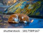A Ginger White Cat Sleeps On...