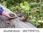 Hand Feeding Chipmunk Seeds In...