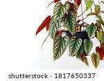 Rex Begonia Vine  Cissus Javana ...