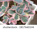 Small photo of Bryophyllum fedtschenkoi or Lavender Scallops Kalanchoe is succulent with fleshy gray-green leaves and cream color along the scalloped leaf margin and red tinged edges. Closeup on the plant in pot.