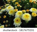 Yellow Chrysanthemum Against...