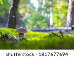 Cep Mushroom Grow In Forest...