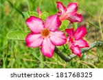 Small photo of Adenium multiflorum flower.