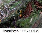 Orange  Yellow Calocera Viscosa ...