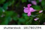Single Kanakambaram Flower...