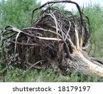A Tree With Spreading Roots