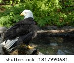 American Bald Eagle On Log Near ...