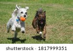 Two Small Mixed Breed Dogs  One ...