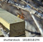 Wasp On Empty Bee Hive