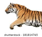 jumping tiger on white... | Shutterstock . vector #181814765