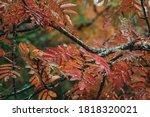 Colorful Red Rowan Tree Or...