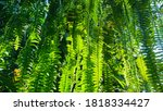 Nephrolepis Fern Leaves In A...
