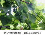 Bunch Of Grapes Ripens  Close...