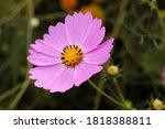 the summer pink beautiful... | Shutterstock . vector #1818388811