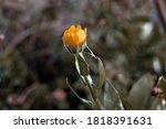 calendula medicinal plant... | Shutterstock . vector #1818391631