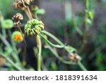 calendula medicinal plant... | Shutterstock . vector #1818391634