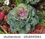Decorative Purple Cabbage. It...