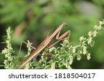 Praying Mantis Resting On Weeds ...