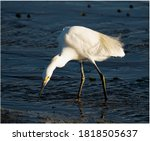 A Snowy Egret Is Looking For...