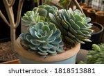 Flora. Succulent Plant. Closeup ...