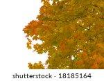yellow maple leaves on white... | Shutterstock . vector #18185164