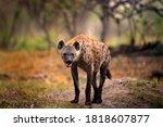 Hyena  detail portrait. spotted ...