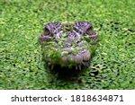 The Saltwater Crocodile ...