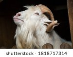 Portrait Of A White Goat With A ...