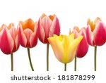 Tulips Bunch With Red And...