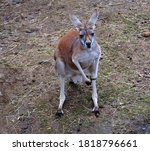 The Kangaroo Is A Marsupial...