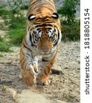 Siberian Tiger Is A Population...