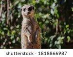Closeup Of African Meerkat In...
